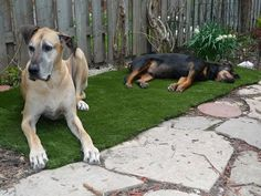 The story of one large dog owner's backyard artificial turf experience. I can so relate, and would love to have a nice patch of artificial turf installed now.