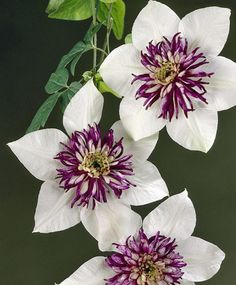 No description provided. . .a clematis?