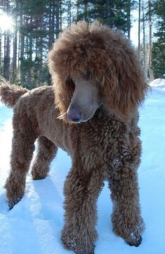 Discover The Very Smart Poodle Puppies Exercise Needs Red Poodles, French Poodles, Standard Poodles, I Love Dogs, Cute Dogs, Poodle Haircut, Poodle Grooming, Goldendoodle Grooming, Poodle Cuts