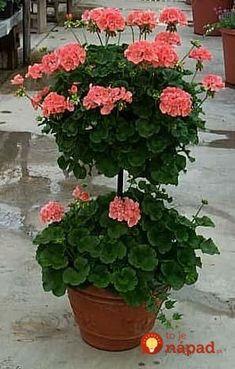 Nedávajte muškáty len do okien či na balkón: Pestovatelia ukázali úchvatné nápady, ako pestovať oby Outdoor Flowers, Outdoor Plants, Container Plants, Container Gardening, Flower Seeds, Flower Pots, Geranium Plant, Topiary, Garden Pots
