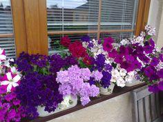 Letničky a balkónové rostliny