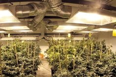 The 21 Best Growroom Tips and Tricks from Pros – High Times