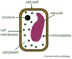 Plant cell diagram school all kind of wiring diagrams 202 best plant cell school project images on pinterest physical rh pinterest com plant cell diagram ccuart Images