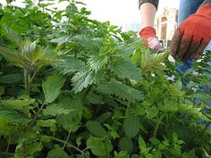 Growing stinging nettles - filled with nutrients for the earth and great in teas, or eaten like spinach.