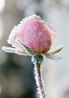 Frosted pink rose!!!  nature just creates the most special moments  apositivelybeautifulblog.tumblr.com