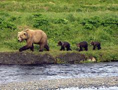 What we see alot of in the summer, Kodiak Bears Animals And Pets, Baby Animals, Cute Animals, Panda Bear, Polar Bear, Beautiful Creatures, Animals Beautiful, Kodiak Alaska, Kodiak Island