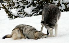 Wolves: stetting one straight...or just an intro to matting