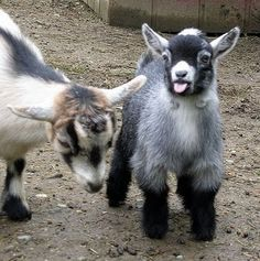 Wildwood has had another pygmy goat arrive at the park. This will bring up the number of pygmy goats to three, they are part of the animal . Mini Goats, Cute Goats, Baby Goats, Cute Baby Animals, Farm Animals, Animals And Pets, Funny Animals, Pigmy Goats, Dwarf Goats