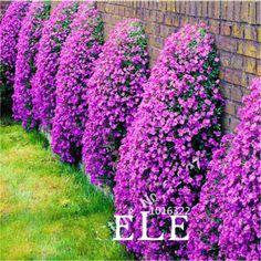 クライミング花100 aubrieta種子カスケード紫の花種子、優れた多年生グランドカバー咲く植物用ホームガーデン