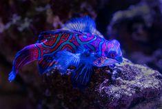 🔥 Mandarin fish (Photo credit to David Clode) Underwater Photos, Underwater Photography, Underwater Life, Nature Images, Life Images, Mandarin Fish, Tang Fish, Oscar Fish