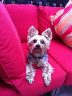 handsomedogs: Spencer, my 7 year old Yorkie; also happens to be the apple of my eye! Sugar Bears, Yorky, 7 Year Olds, Wild Hearts, Yorkshire Terrier, Dog Love, Fur Babies, Dogs And Puppies, Vibrant Colors
