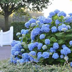 Blooms every year - no matter what -  Keep summer around even long after it's over with the Endless Summer® Hydrangea.  Blooming early in the summer season, this incredibly beautiful, frost-proof plant will give the warmth of summer to your garden with lovely blooms up until Thanksgiving!  Compare that to other typical...
