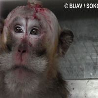 Sign & Share Petition please. Mauritius is one of the world's largest suppliers of monkeys for the research industry, exporting thousands of animals every year to the USA and the. Animal Articles, Animal Protection, Animal Testing, Animal Cruelty, Animal Rights, Monkeys, Worlds Largest, Cute Animals, Mauritius