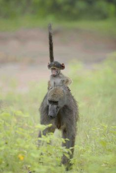 Baby baboon gets a piggyback, Sanctuary Stanley's Camp, Botswana