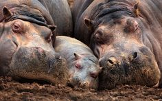 family of muddy hippos