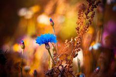 Blue flower by Olivier Ferrari on 500px