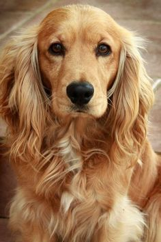 Legend has it that the first cocker spaniel, or at least the ancestor of the cocker spaniel as we know it today, arrived in Plymouth, Mass., in 1620 on board the Mayflower with the pilgrims from England.