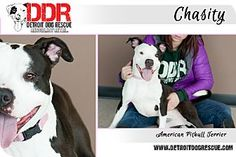 DETROIT MI - Chasity: female AmStaff mix; 18 mo. Lovely Chasity was taken from a hoarder by Detroit Dog Rescue. She loves to play with people and gives the best kisses ever. She's looking for a high-energy forever family who wants to lavish all their attention on her as an only pet - no dogs or cats. Submit an application at detroitdogrescue.com