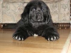 Newfoundland puppy, so damn cute!! I want one, let me take that back....I NEED one!!!