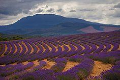 Lavender Farm, Tasmania, Australia