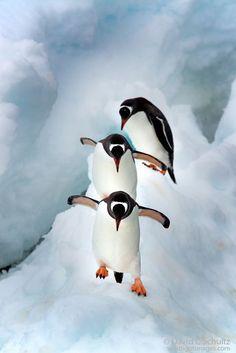 Pingüinos de Gentoo en la Antártida