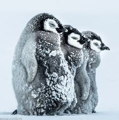 The baby penguins also close their eyes during the  storms in order to prevent the snow affecting their sight