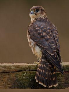 Merlin(Falco columbarius) photographed by Mark Bowen Pretty Birds, Beautiful Birds, Animals Beautiful, Merlin Bird, Owl Bird, Birds Of Prey, Colorful Birds, Raptors, Owls