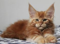 Ch. Kashmir of Vingilot *CZ. 8 weeks old. Beautiful Maine Coon baby. http://www.mainecoonguide.com/characteristics/