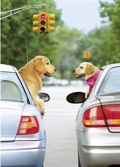 Golden retriever dogs meet for a quick catch up chat at s red light. Cute Puppies, Cute Dogs, Dogs And Puppies, Doggies, Baby Dogs, Animals And Pets, Funny Animals, Cute Animals, I Love Dogs