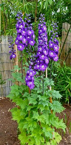 Delphinium elata 'Purple Passion'    For all it's faults, Delphinium is pretty magnificent when it does its show of spire-type flowers. It is a hardy perennial and after proper staking and getting it in the right spot .... this is the result of my patience!  Seattle Landscape Design