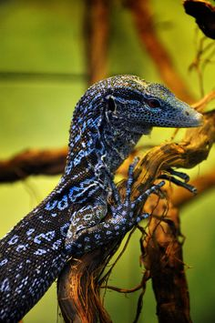 Blue tree monitor by sugoidave Les Reptiles, Cute Reptiles, Reptiles And Amphibians, Mammals, Big Lizard, Lizard Dragon, Monitor Lizard, Animals And Pets, Cute Animals