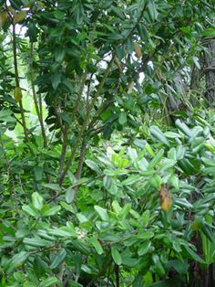Clove - Syzygium aromaticum