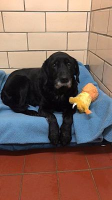 Pictures Of Lacey A Labrador Retriever For Adoption In Johnstown