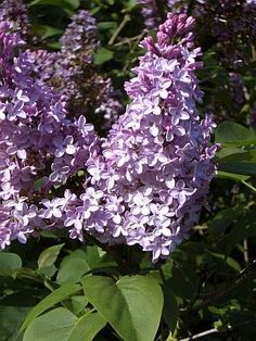 Lilac Plant Care. Too bad they wont grow here! I miss lilac bushes  <3