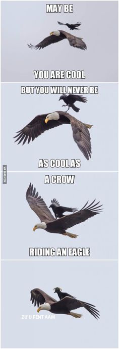 A crow riding an eagle Ok, I know this is photoshopped, but you have to ❤ the idea of it. And the interesting horn things the crow sports in the final frame.<br> More memes, funny videos and pics on Animal Jokes, Funny Animal Memes, Cute Funny Animals, Funny Animal Pictures, Funny Cute, Top Funny, Super Funny, 9gag Funny, Stupid Funny Memes