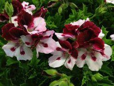 Regal Pelargonium 'Rosetto'