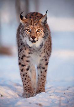 ~~Winter is drawing near ~ Lynx by MS-Opacity~~