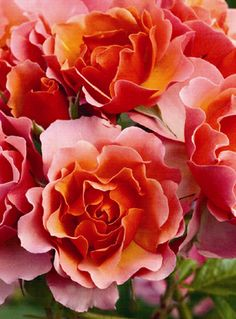 "Rose ""Thrive! Copper"""