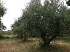 Our Olive Grove, Krestena ilias, Greece Kingston Upon Thames, Greek Restaurants, Olive Tree, Countryside, The Good Place, Greece, Old Things, Country Roads, Landscape