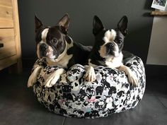 Boston Terrier, Dogs, Animals, Cats, Pet Dogs, Hook And Loop Fastener, Cuddling, Animales, Boston Terriers