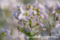 Essbare Blüten: das Wiesenschaumkraut