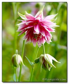 Columbine: Spurless, double pink to green flowers are a trademark of Aquilegia 'Nora Barlow', a mutant vulgaris form, cultivated for over two hundred years.