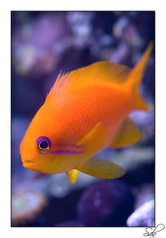 anthias fish - beautiful salt water fish.  Would you like to own a salt water tank but can't afford it? Visit http://livingwellforsuccess.net and find out how you might make it work.