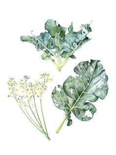 Botanical illustration by J R Shepherd