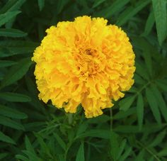 Mexican marigold flower - growing in plant in your graden  http://www.growplants.org/growing/mexican-marigold