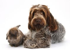 Brown Roan Italian Spinone Dog