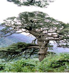 한국의 대표 소나무