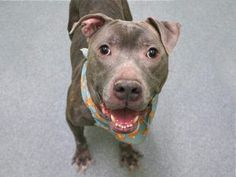 TO BE DESTROYED 01/03/17  **ON PUBLIC LIST** A volunteer writes: He may look a little worse for wear on the outside but inside middle-aged Bisoo hides the happy heart of a puppy who never grew out of loving life and the people he shares it with and while the going may have gotten tough, he clearly never did. Bisoo's so thrilled to meet new friends and I find him waiting at the very front of his kennel with a wagging tail and bright eyes that hold only one question in their velvety…