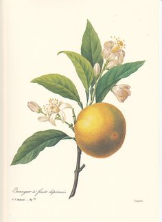 Pierre Redoute Botanical Art Print an orange. by route44west, $9.99