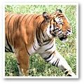 South China Tiger - critically endangered